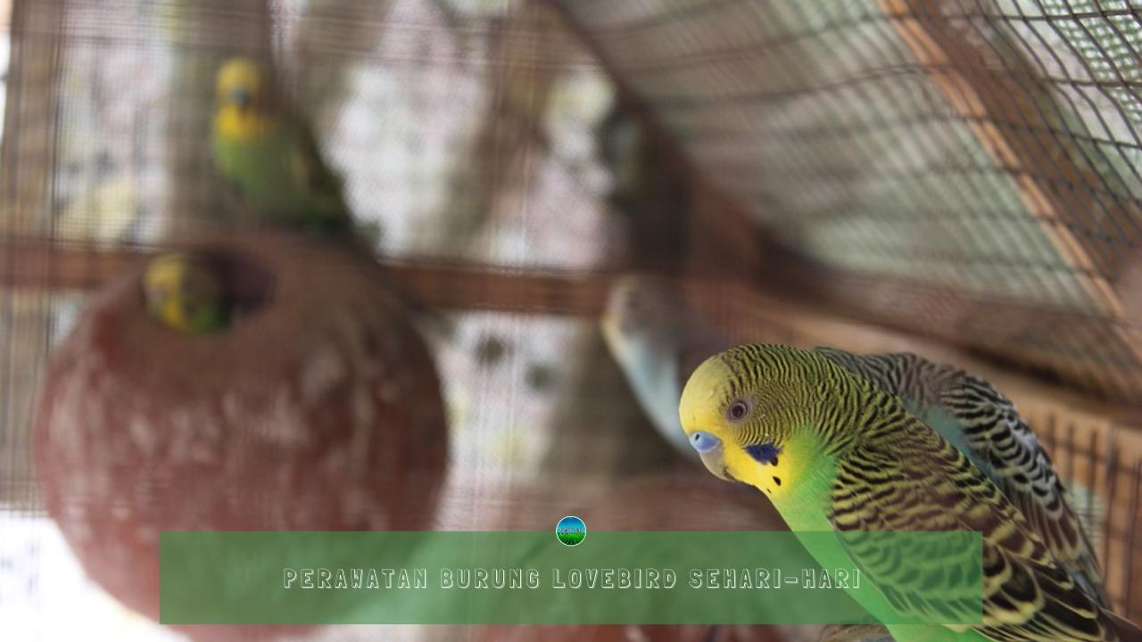 Perawatan Burung Lovebird Sehari-hari