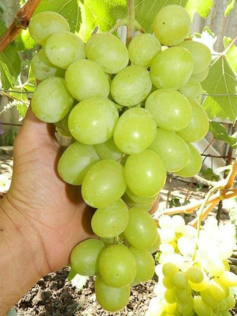 Paket 10 Bibit Tanaman Buah Anggur Cepat Berbuah Jambi