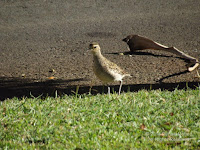 The Pacific golden plover can be seen foraging on lawns in parks. Fort de Russy Park, Oahu - © Denise Motard