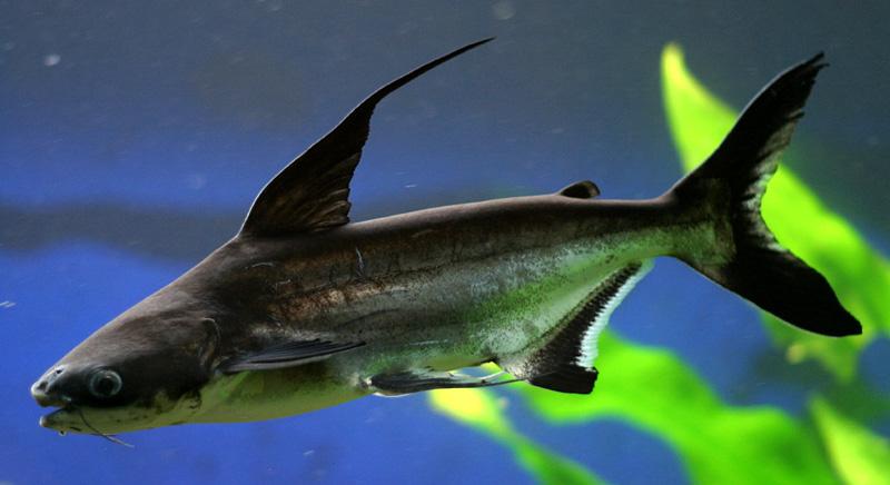 Mengenal Ikan Genghis Khan Si Ikan Predator Air Tawar Yang Mirip Ikan Hiu Ikanesia Id