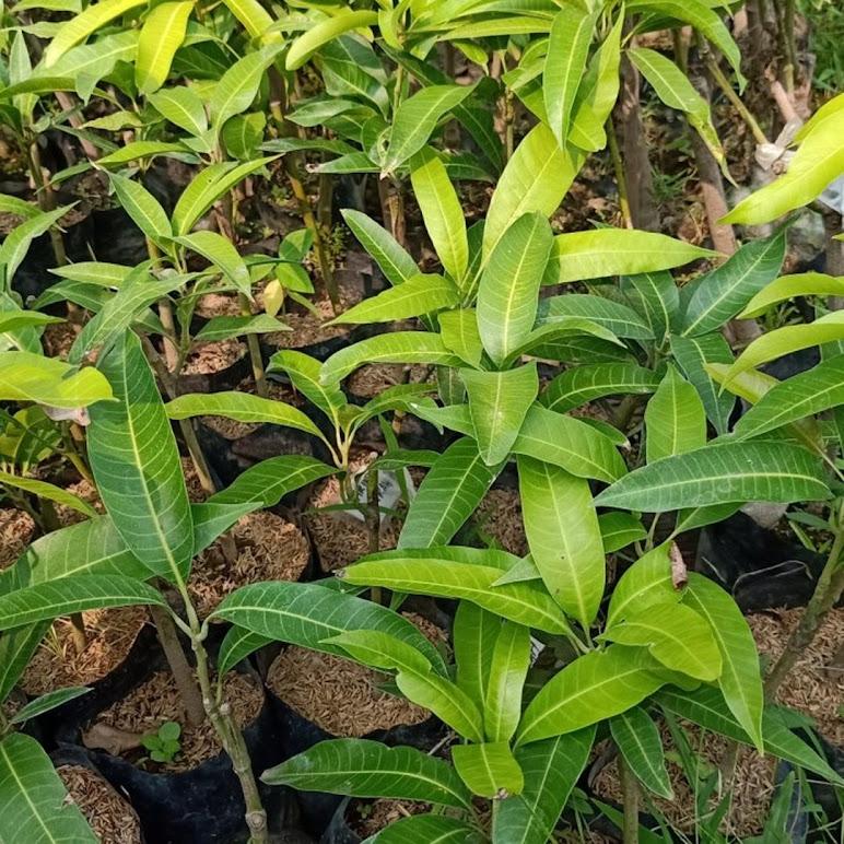 bibit mangga harum manis Sulawesi Selatan