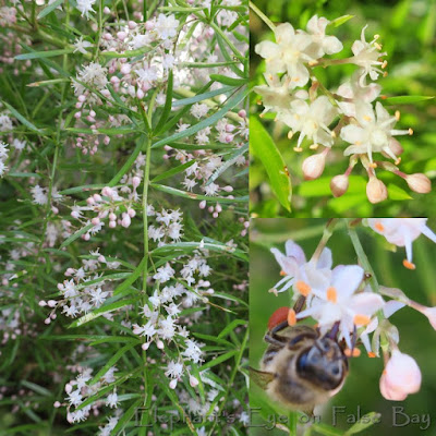 Blooming wild asparagus humming with bees