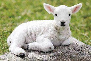 Chú chiên hiền lành