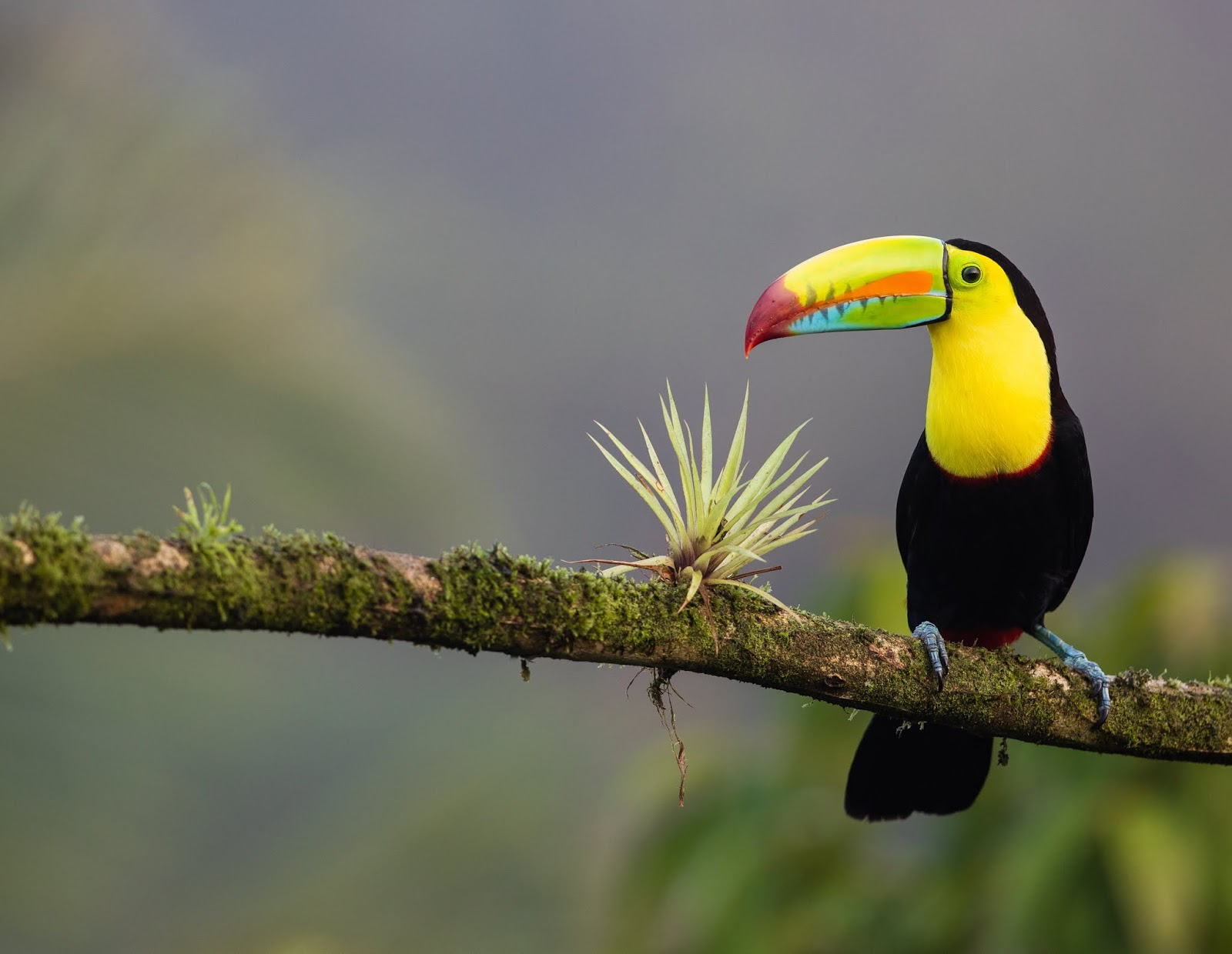 The keel-billed toucan the colorful Latin American member of toucan family