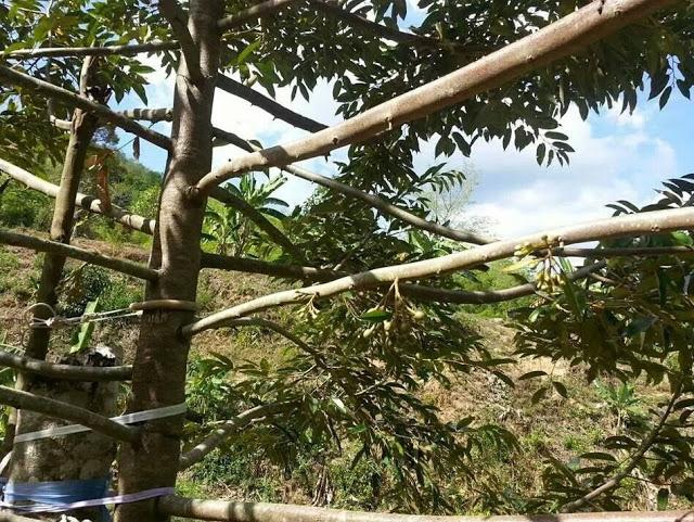 Berita TV Malaysia: Jadual PEMBAJAAN Durian Bermula 1