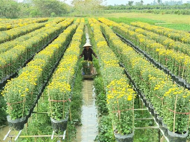 Hình ảnh người nông dân đang chăm sóc hoa tại Vườn Hoa Sa Đéc