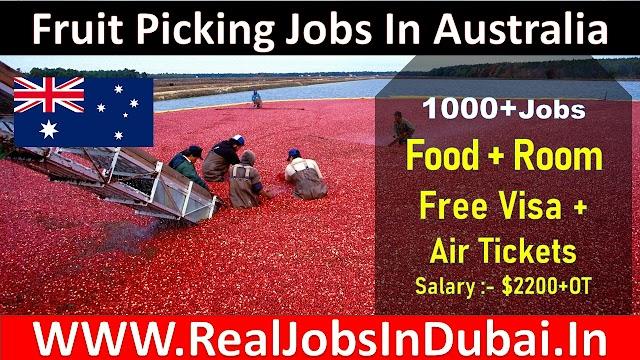 Fruit Picking Jobs In Australia | Fruit Picking Jobs With Visa|