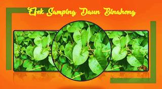 efek samping daun binahong