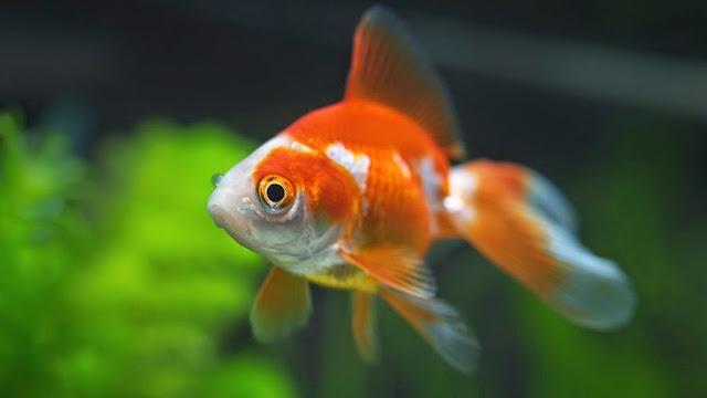 ikan emas