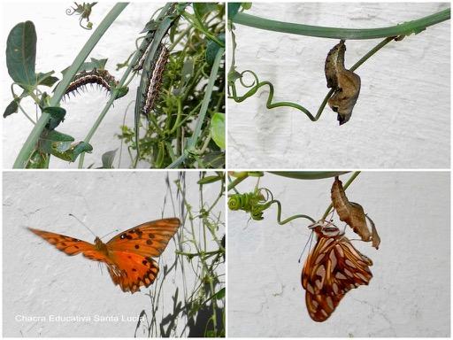 Ciclo de la mariposa espejito: orugas, capullo, mariposa - Chacra Educativa Santa Lucía