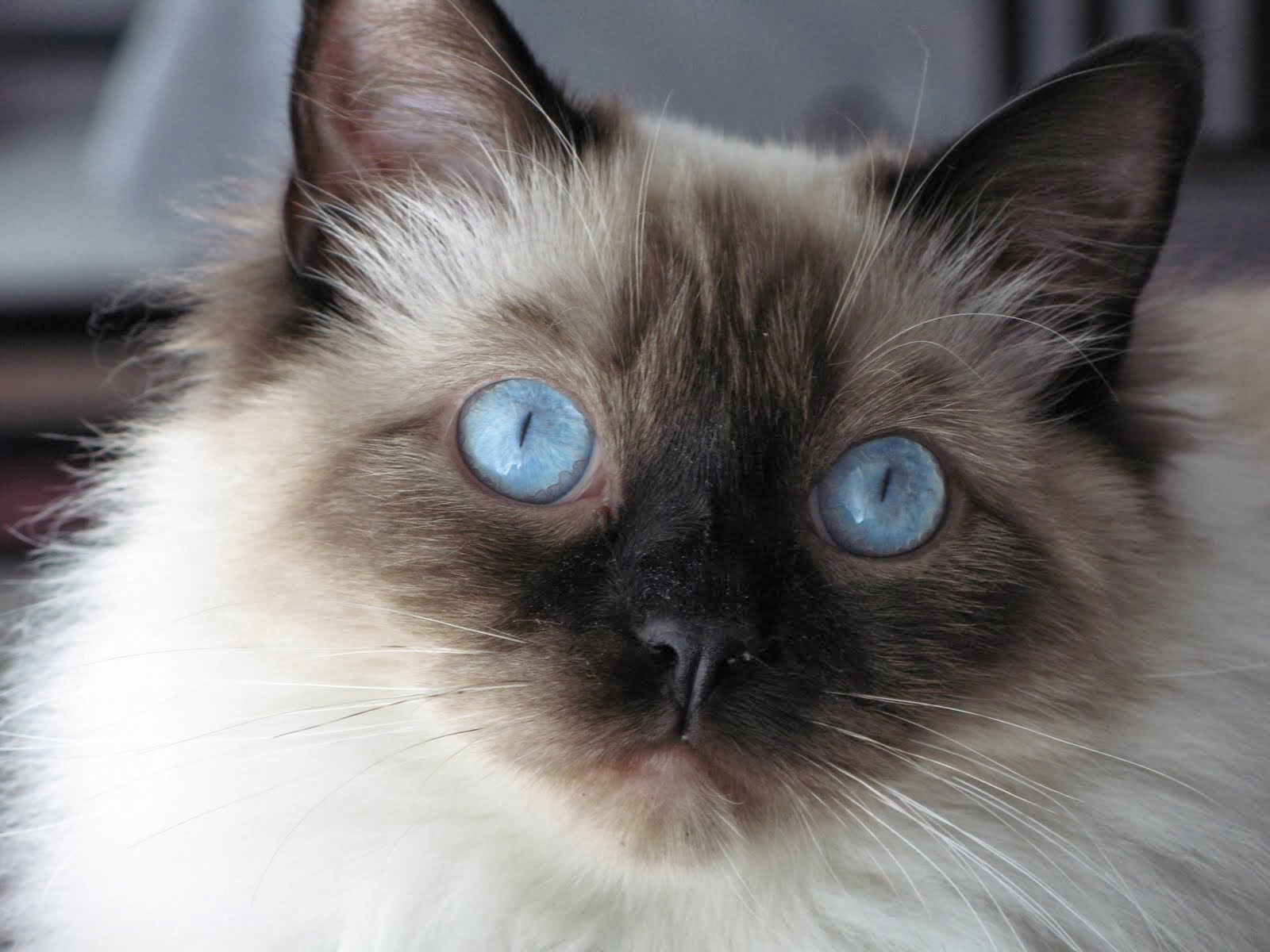 Cute Black Ragdoll Cat