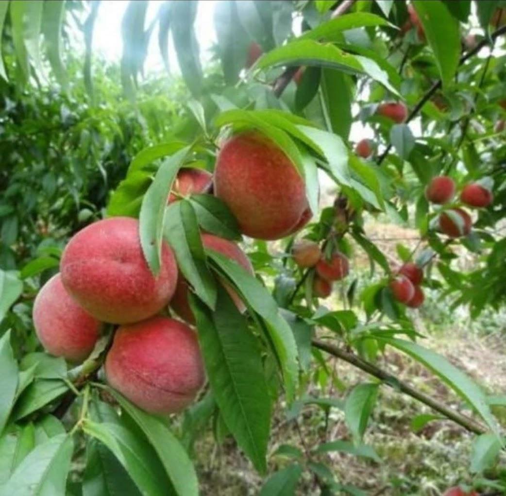 Promo Bibit buah persik bibit tanaman buah persik DELIFMART Banda Aceh
