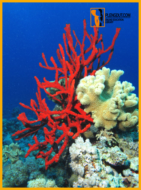 Pict: The Latrunculia. a branching sponge, lives in the Red Sea. Its sexual reproduction is hermaphrodite and viviparous.