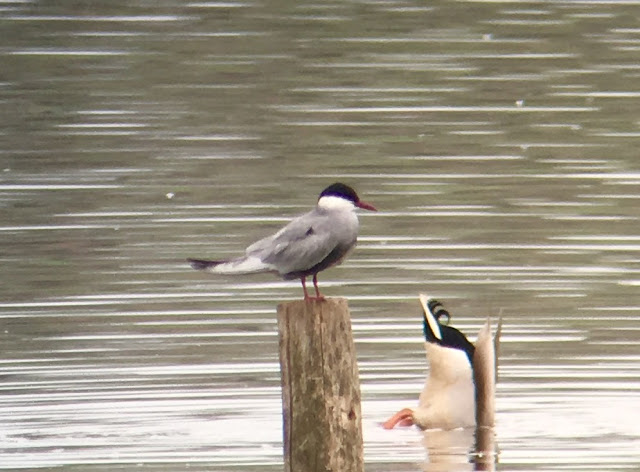 Whiskered Tern - Sandbach Flashes, Cheshire
