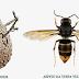 VESPA VELUTINA - União das Freguesias de São Pedro de Alva e São Paio de Mondego pede colaboração na identificação de ninhos
