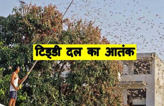टिड्डी दल का आतंक: राजस्थान और मध्यप्रदेश के बाद अब उत्तर प्रदेश के 10 जिलों में हाई अलर्ट