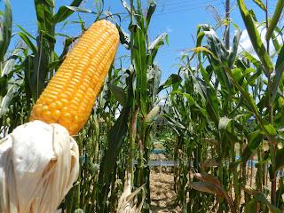 Resultado de imagem para espigas de milho