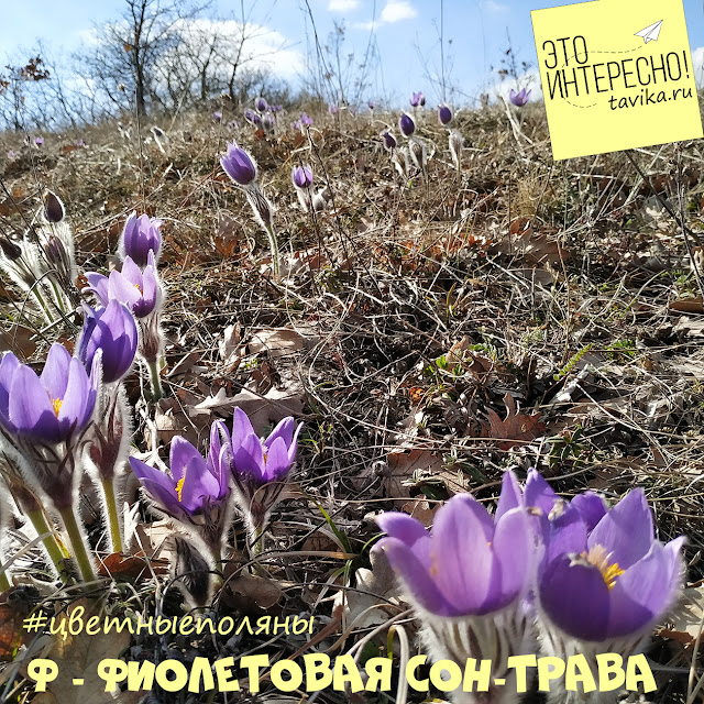 Цветение сон-травы, Крым