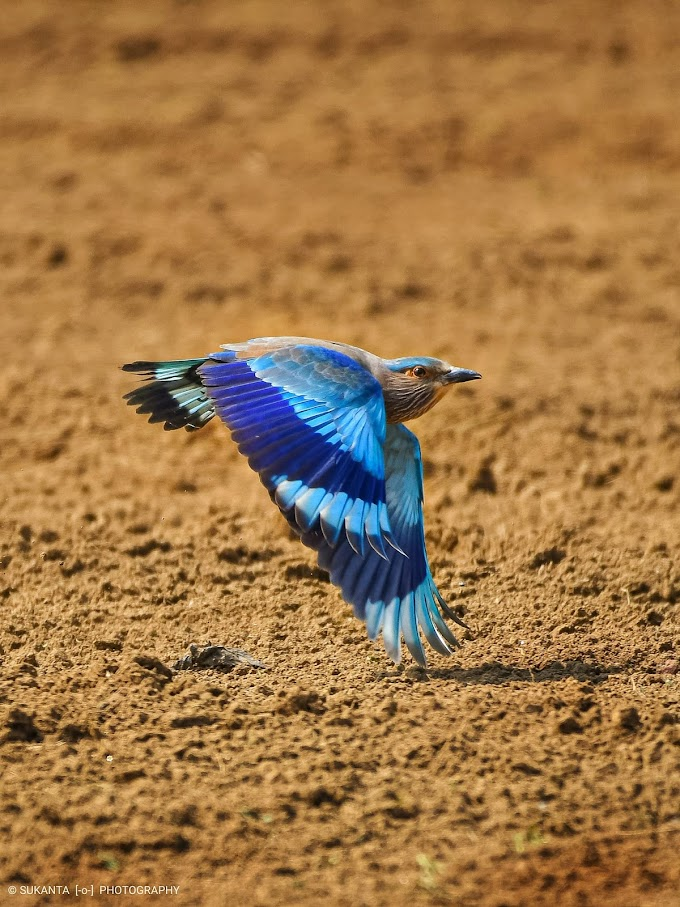 Indian Roller at  Bordhoman outskirts, W.B