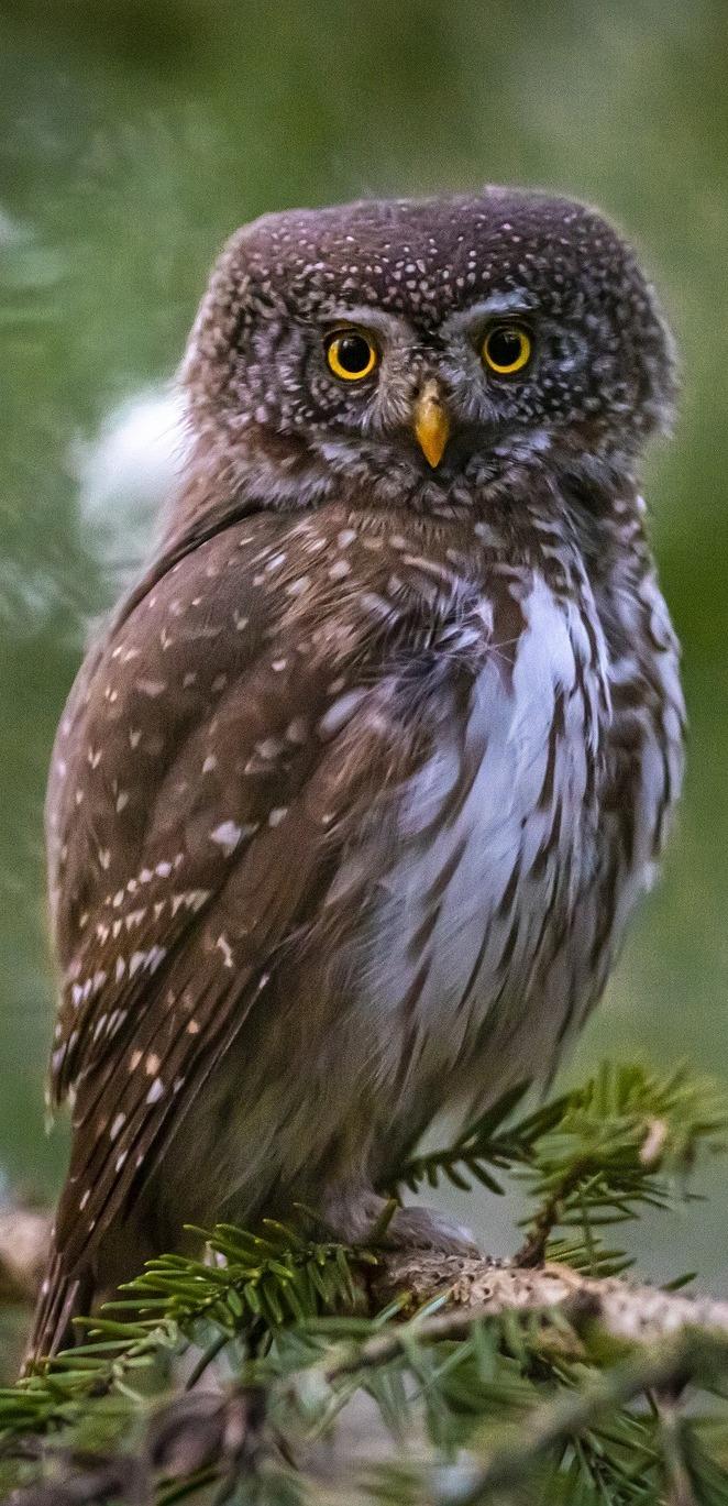 Eurasian pygmy owl.