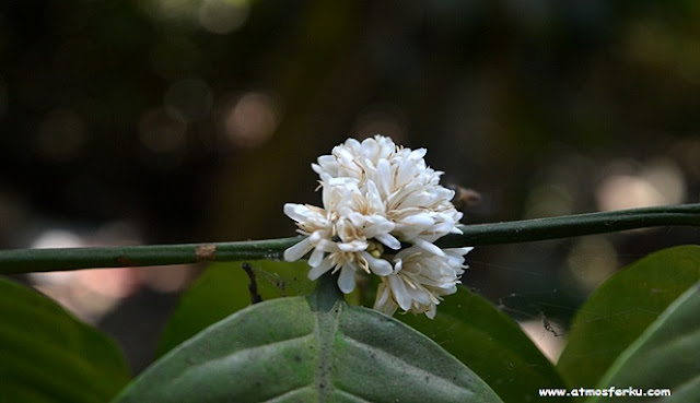 Bunga yang menjadi Tanda Harapan Indah bagi para Petani Kopi