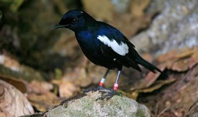 Burung kacer lokal (Jawa)