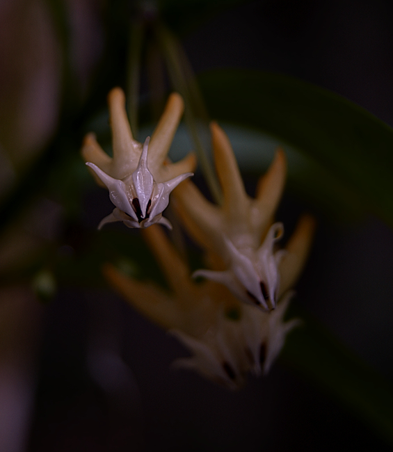 Shooting Star Tree Orchid, troical rain forest, Philippines,photography,close-up