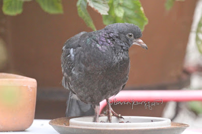 "An injured pigeon visiting my NYC garden. View One of Four. He appears to be very young, evidenced by his knobby pale beak. The placement of his feet doesn't look like a broken leg, maybe just soft tissue damage.  'Tis a hard life for a pigeon in the city. This bird type is featured in my book series, ""Words In Our Beak.""  Info re the books ttps://www.thelastleafgardener.com/2018/10/one-sheet-book-series-info.html"