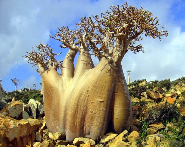 Image result for Delima Socotra