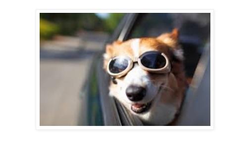 Viajar con perros en el automovil  Tips y Recomendaciones