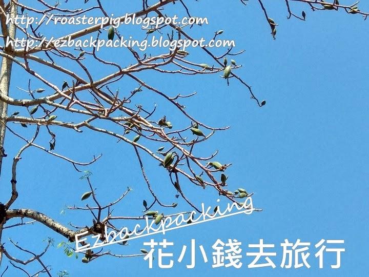 木棉樹果實