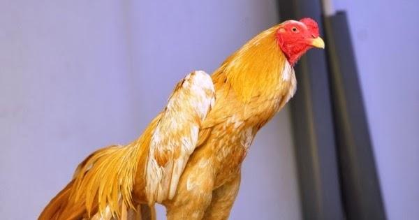 Cara Cepat Menggemukkan Badan Ayam Dalam Waktu 1 Minggu