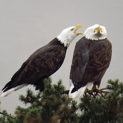 Two American bald eagles playing in evergreen tree branch. the bird on the right has its head upside down