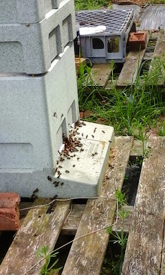 Very busy hive entrance.