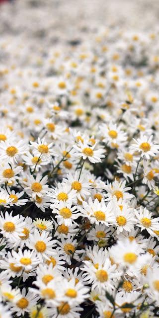 Cánh đồng hoa cúc họa mi trắng đẹp mộng mơ