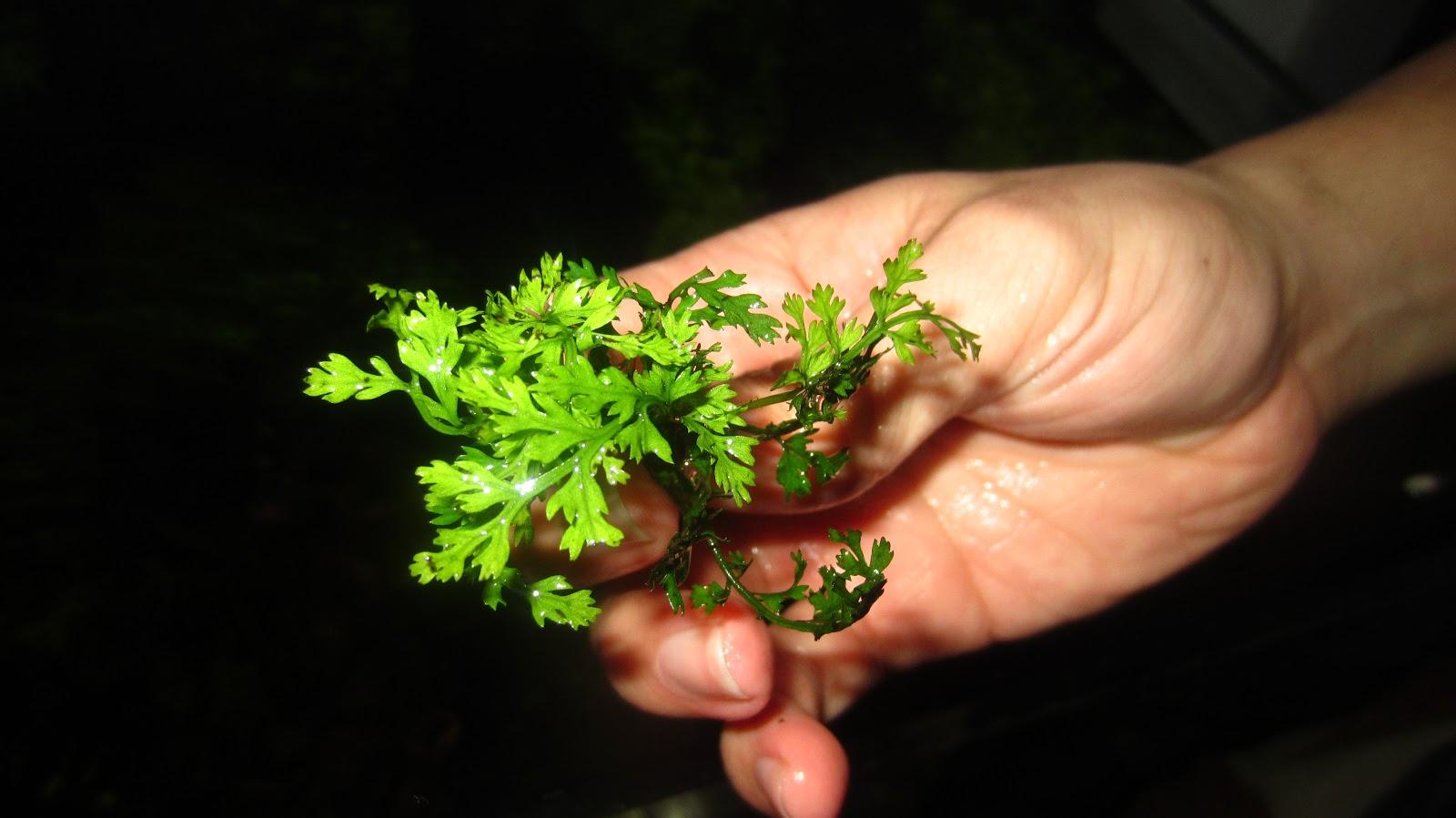 cây dương xỉ châu phi lùn có kích thước nhỏ nhắn trong bể thủy sinh