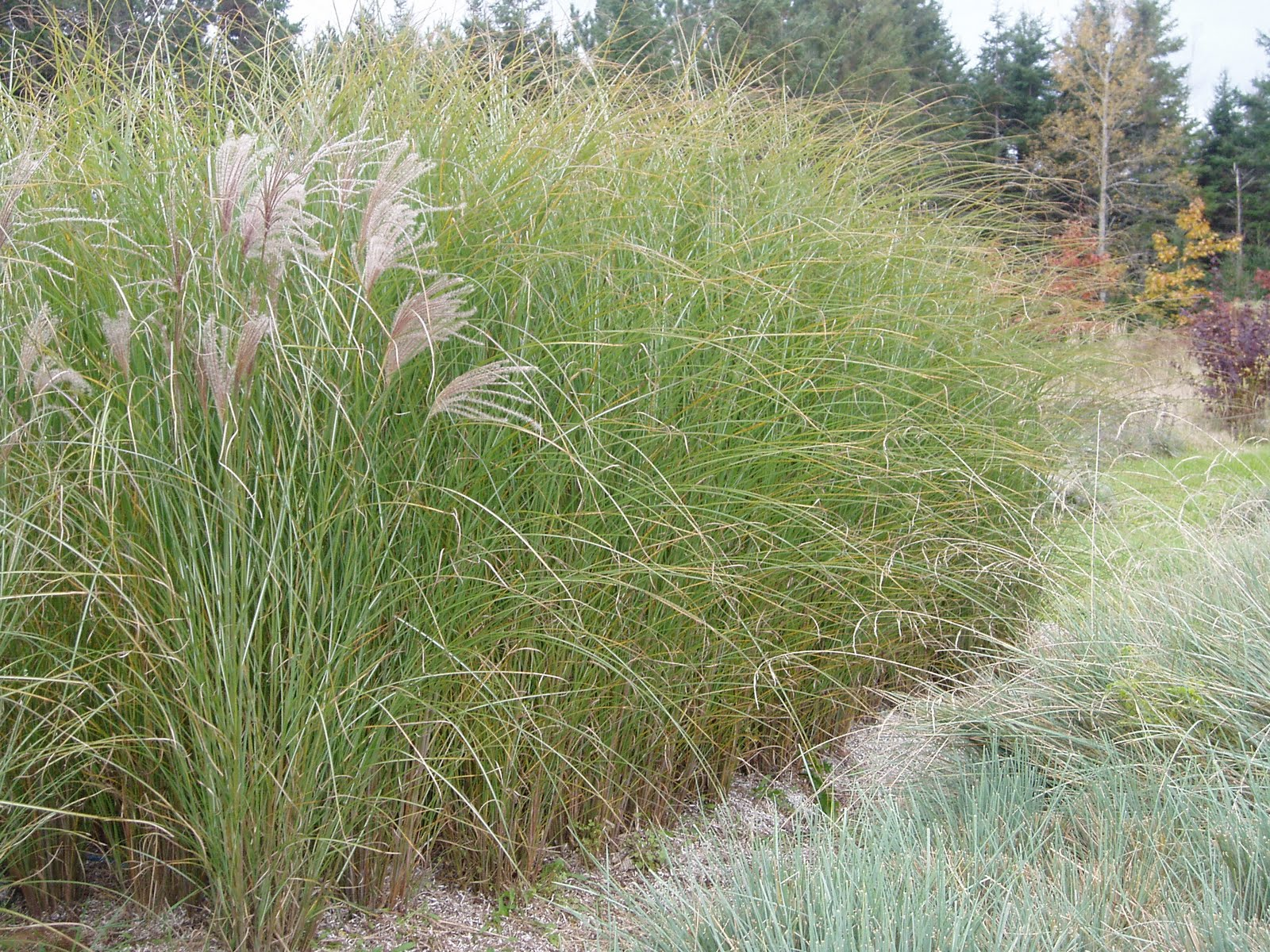 lovegrass farm miscanthus sinensis 39 gracillimus 39 ornamental grass at lovegrass farm in p e i. Black Bedroom Furniture Sets. Home Design Ideas