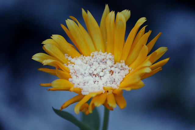 Arnica has a wide variety of benefits, both for humans as well as dogs.
