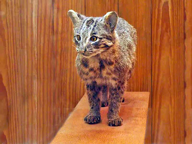 Stuffed Yamaneko on display in Wildlife Center