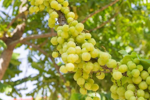 ปลูกต้นมะยมเสริมฮวงจุ้ย