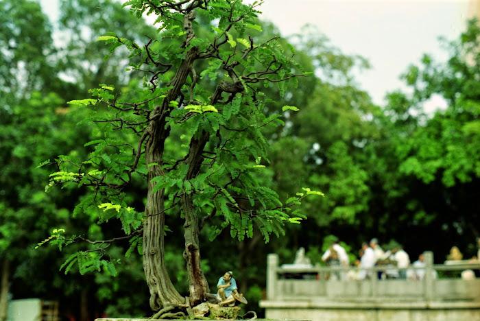 Canton, Guanzhou, bonsaï, Parc du Mémorial, © L. Gigout, 1990