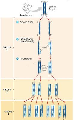 Skema Polymerase Chain Reaction (PCR)