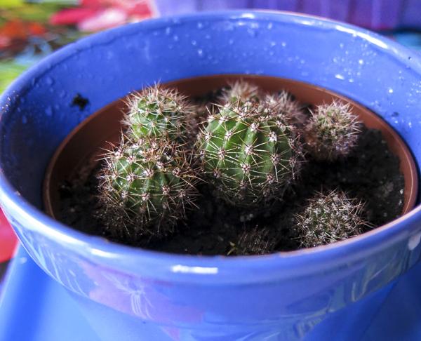 kaktusplantor