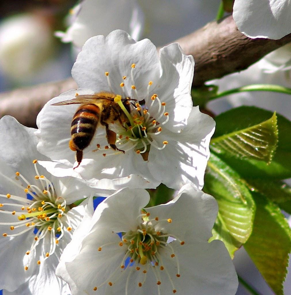 Impollinazione ciliegio