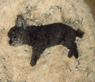 Toy Poodle In Bed