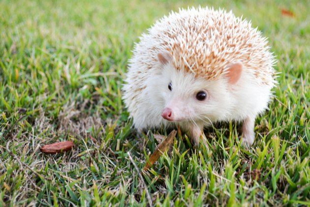 how to care for a hedgehog, hedgehog care basics