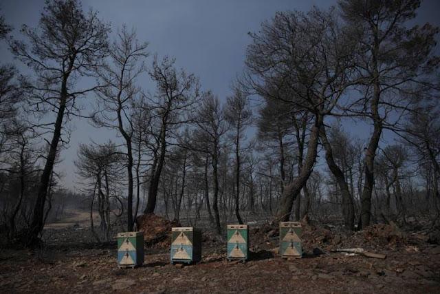 Ο ΕΛΓΑ θα αποζημιώσει όσα μελίσσια κάηκαν στην Εύβοια και ήταν ασφαλισμένα