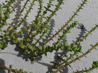 Honckénye faux-pourpier - Honckenya peploides