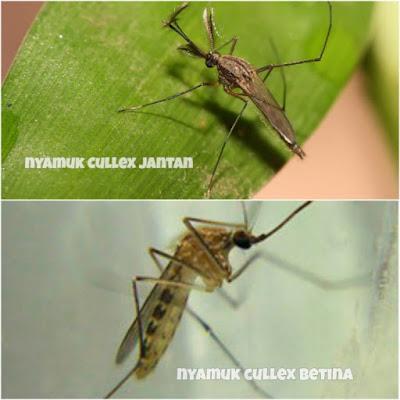 cullex-mosquito