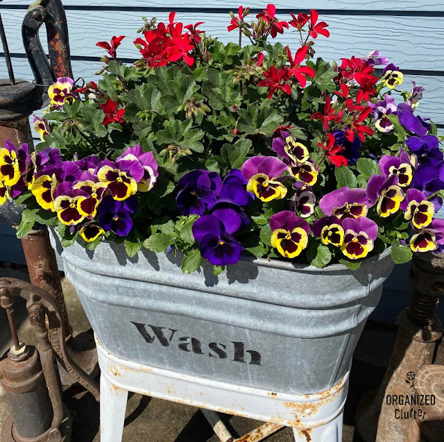 Photo of a laundry tub with pansies & an ivy geranium